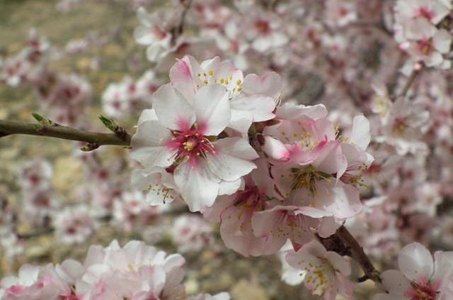 Fleur des amandiers