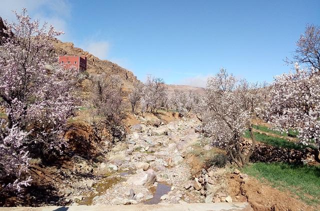 Voyage au Maroc les amandier en fleurs