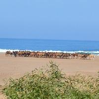 Transhumance dans le sud du Maroc